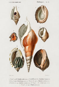 Shell Collection II - Kuriosis Vintage Prints