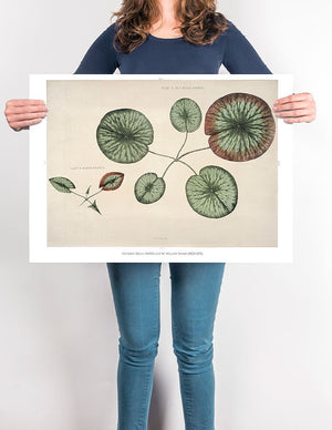 Victoria Regia Flower Grown Botanical Poster - Kuriosis Vintage Prints