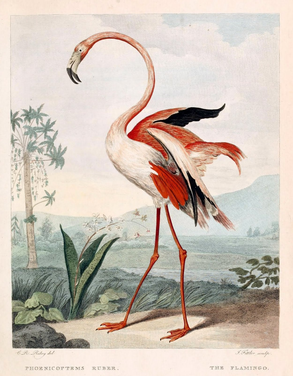 The Flamingo Pink Red
