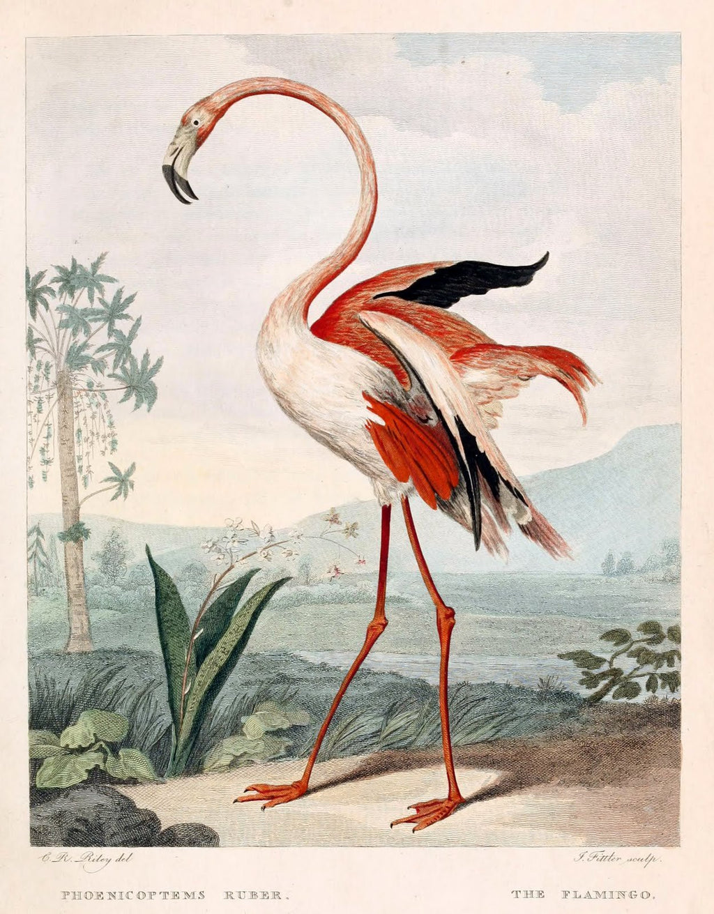 The Flamingo Pink Red - Kuriosis Vintage Prints