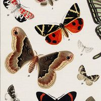 Schmetterlinge II Antique Butterfly and Moth Lithograph Reproduction - Kuriosis Vintage Prints