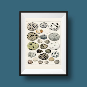 Eggs Collection - Kuriosis Vintage Prints