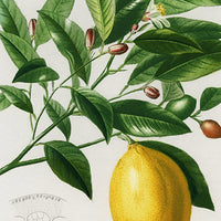 Lime Flower &  Lemon Fruit Vintage Poster - Kuriosis Vintage Prints