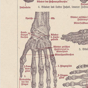 Muscles and Ligaments Medical Chart - Kuriosis Vintage Prints