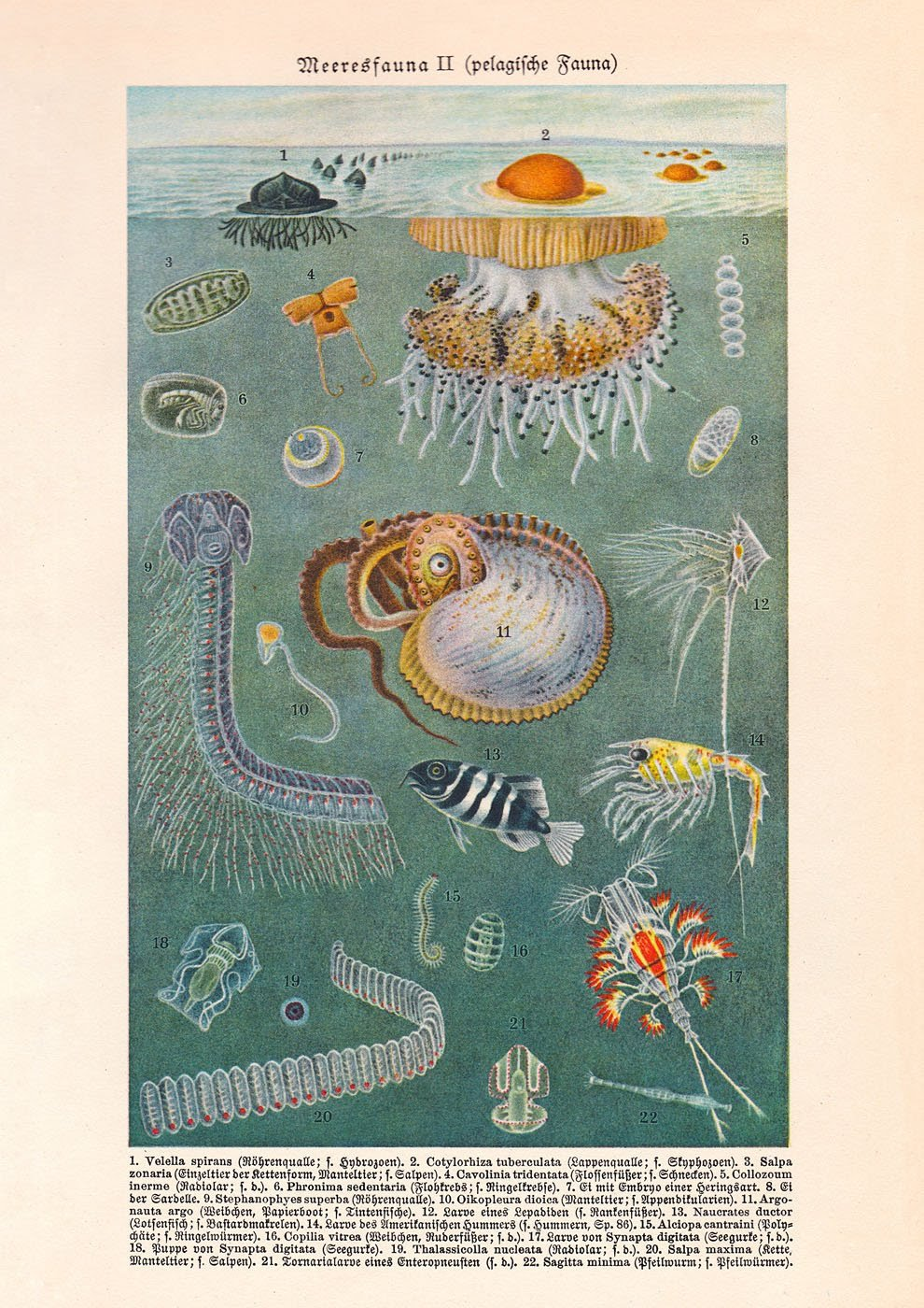 Marine Fauna (Meeresfauna) II Antique Illustration from German Lithograph. Print Reproduction  for your Home Decor