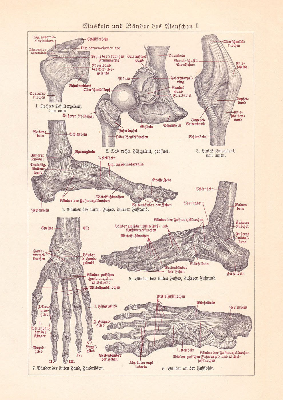 Muscles and Ligaments Medical Chart