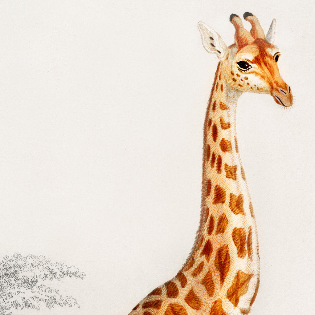 Giraffe Old Illustration
