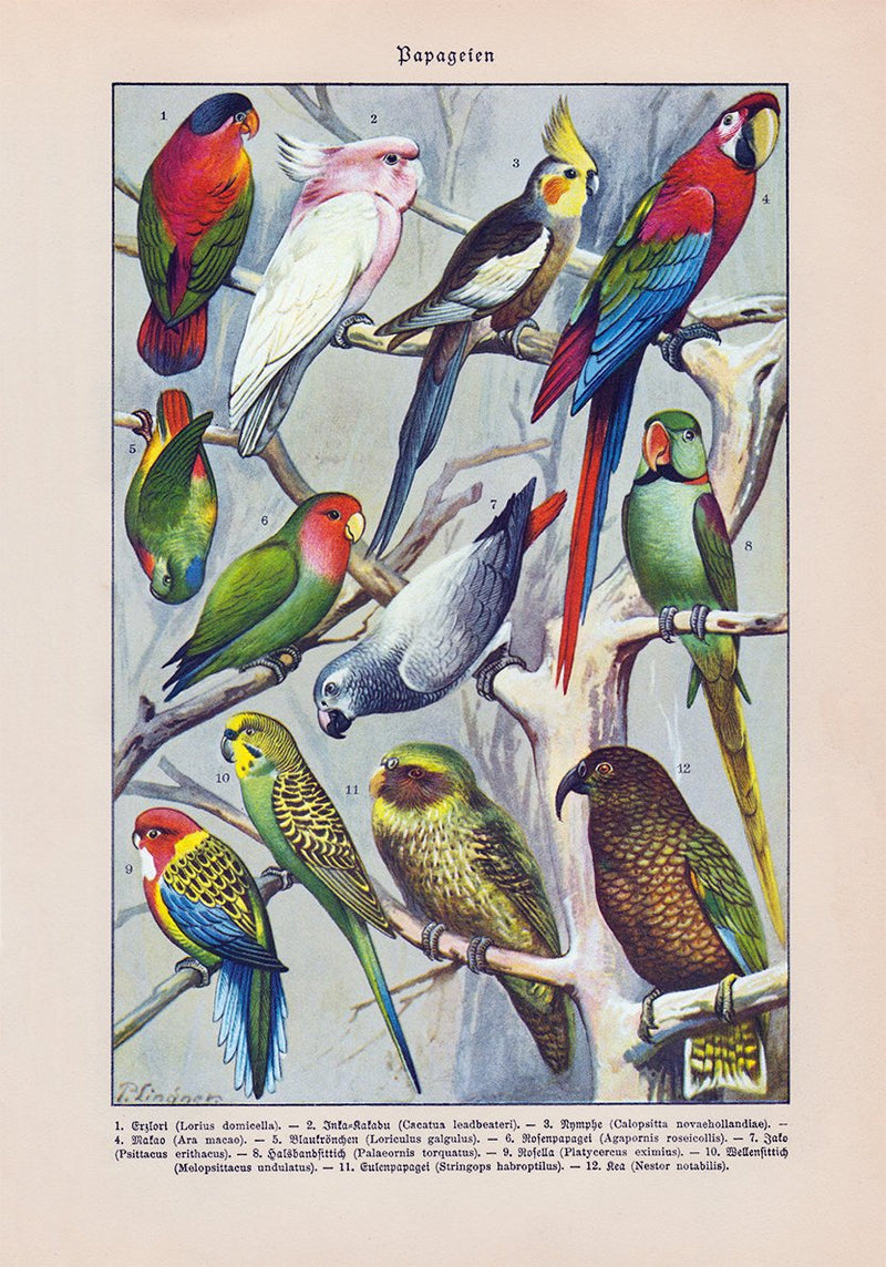 Papagaien Macaw and Parrot Vintage Illustration - - Kuriosis Vintage Prints