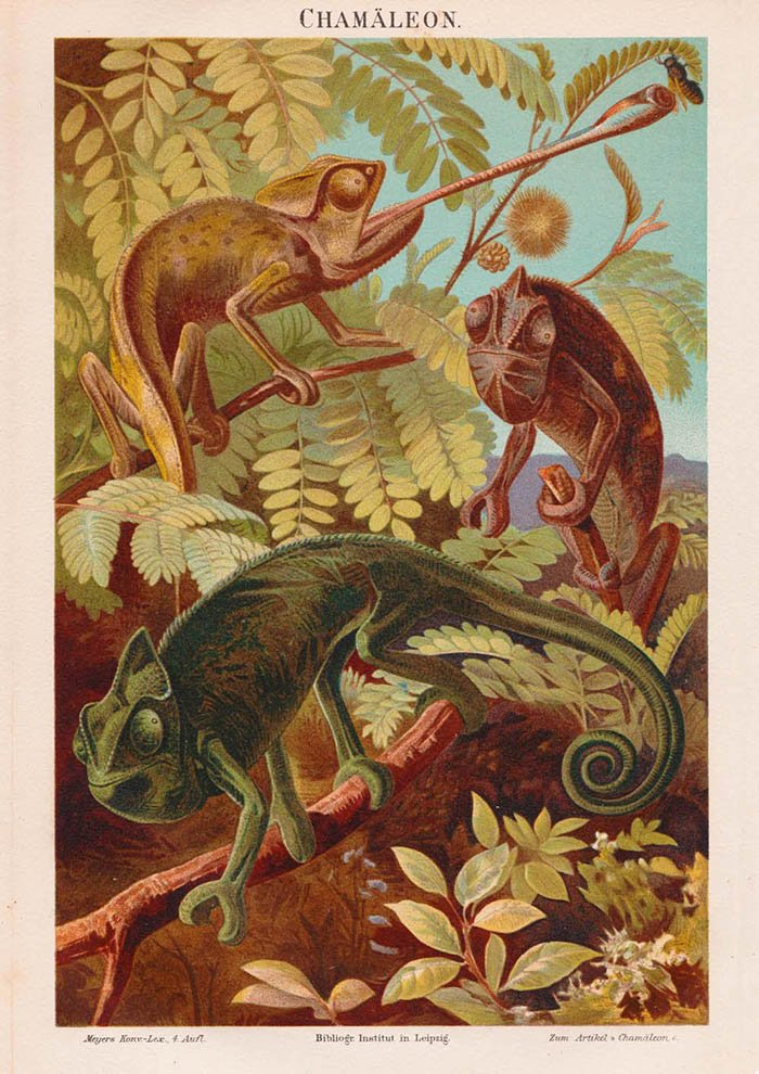Chameleon Collection - Kuriosis Vintage Prints