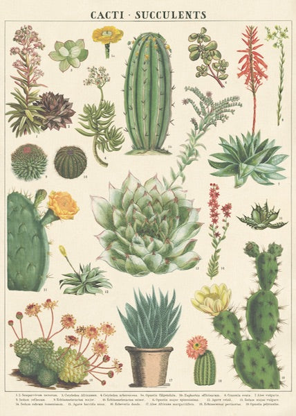 Cacti + Succulents - 1 Poster