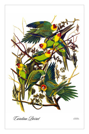 Guest/Kitchen/Tea Towel Carolina Parrot