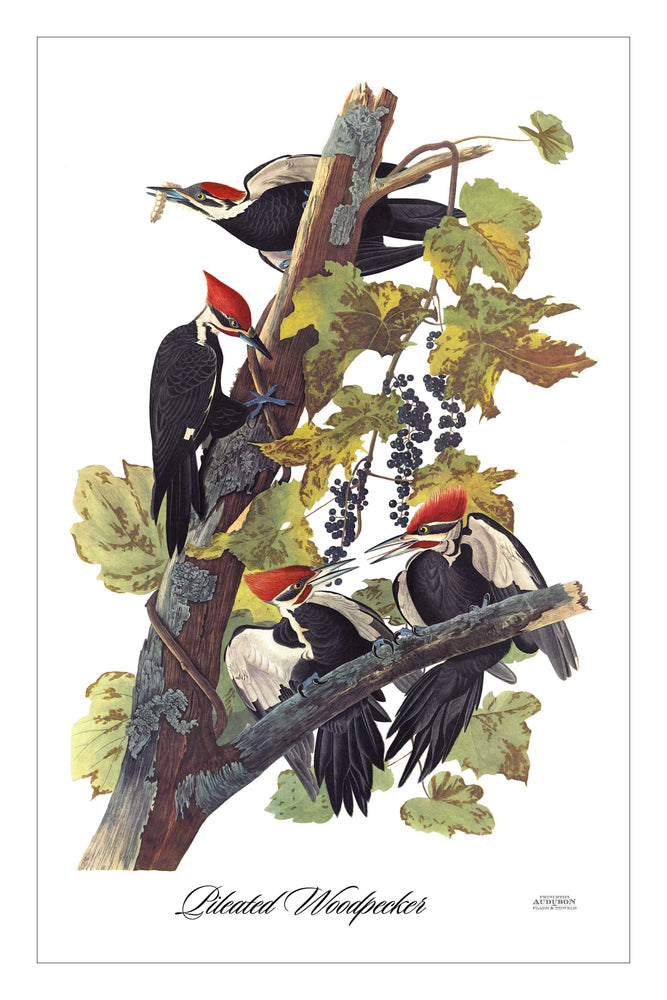 Guest/Kitchen/Tea Towel Pileated Woodpecker