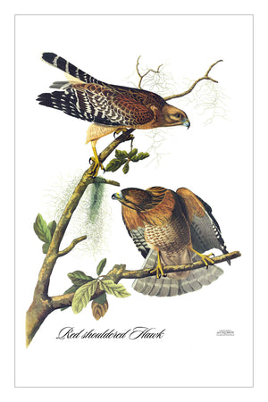 Guest/Kitchen/Tea Towel Red shouldered Hawk
