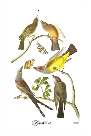 Flycatchers (GFG)