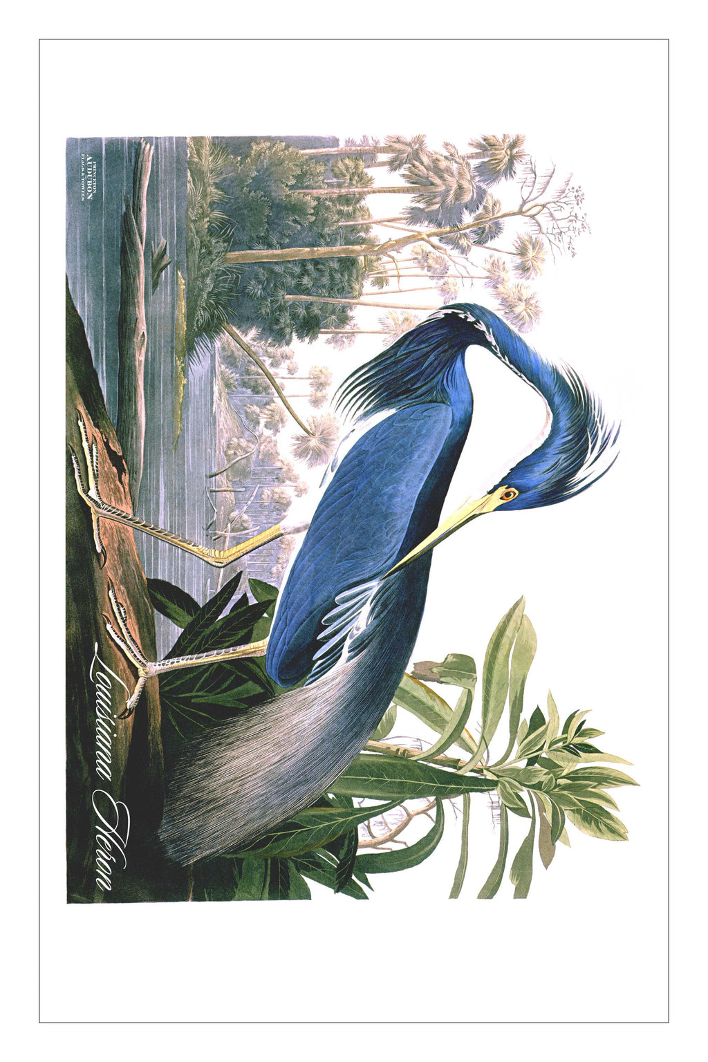 LouisianaHeron (KDT)