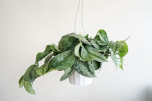 Load image into Gallery viewer, Silver Splash Pothos - Scindapsus Pictus Exotica