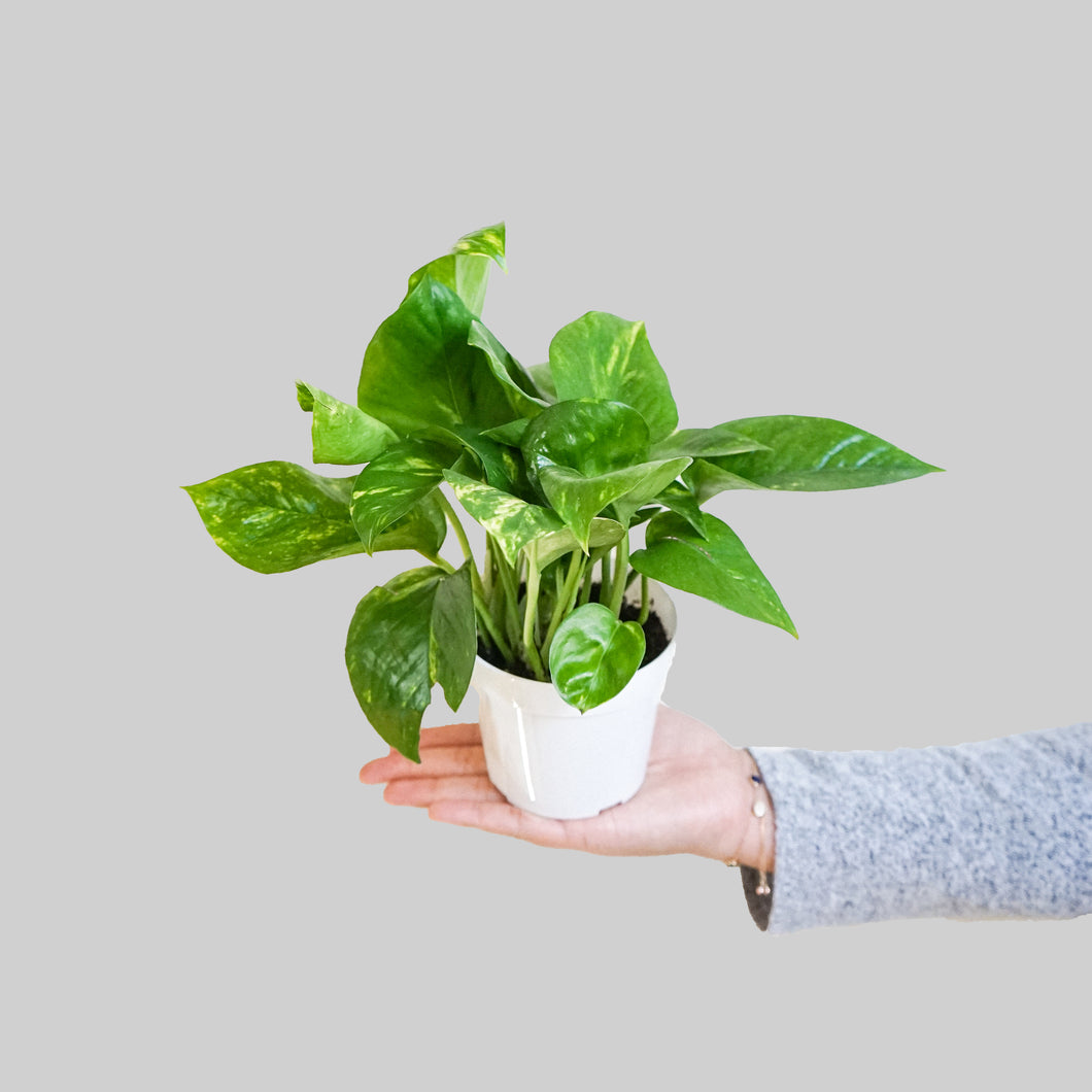 Golden Pothos- Pothos Goldina