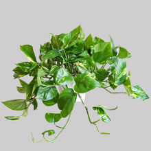 Load image into Gallery viewer, Golden Pothos- Pothos Goldina