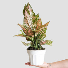 Load image into Gallery viewer, Aglaonema Valentine - Chinese Evergreen