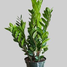 Load image into Gallery viewer, ZZ - Zamioculcas Zamiifolia