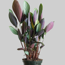 "Load image into Gallery viewer, 6"" Calathea Setosa Greystar"