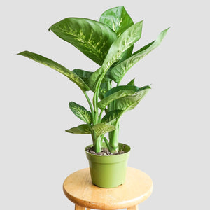Dieffenbanchia Tropic Snow - Dumb Cane