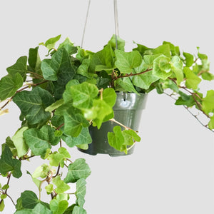 "6"" Green Ivy - English Ivy"