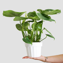 Load image into Gallery viewer, Monstera Deliciosa - Split Leaf Philodendron