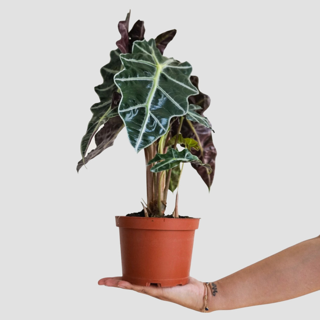 Alocasia Polly - African Mask Plant