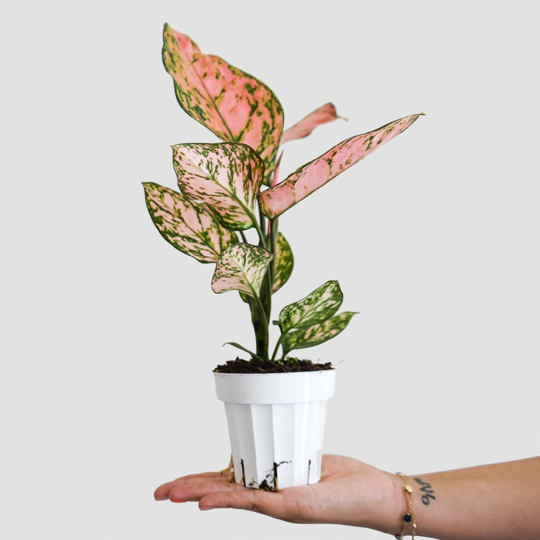 Aglaonema Valentine - Chinese Evergreen