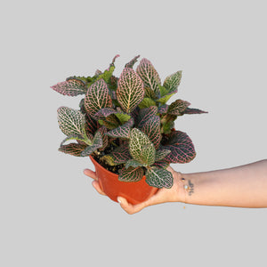 "6"" Pink Fittonia- Nerve Plant"