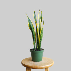 "6"" sansevieria trifasciata - viper's bowstring hemp - mother- in- laws tounge"