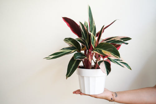 Stromanthe Triostar- Tricolor Prayer Plant