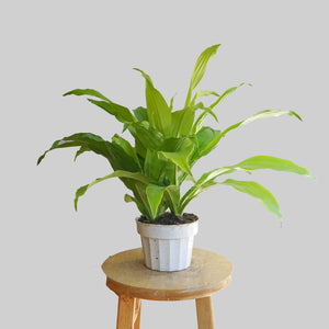 "6"" Dracaena Lime Light"