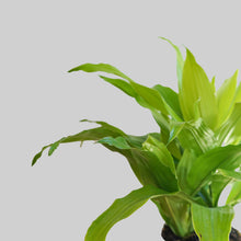 "Load image into Gallery viewer, 6"" Dracaena Lime Light"