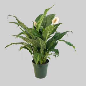 "6"" Peace Lily- Spathiphyllum"