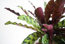 Load image into Gallery viewer, Calathea Lancifolia - Rattle Snake Calathea