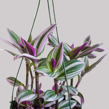 "Load image into Gallery viewer, 6"" Tradescantia Nanouk"