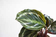 Load image into Gallery viewer, Calathea Shinestar
