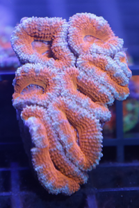 Acan Lord Mini Colony WYSIWYG