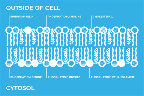types of phospholipids