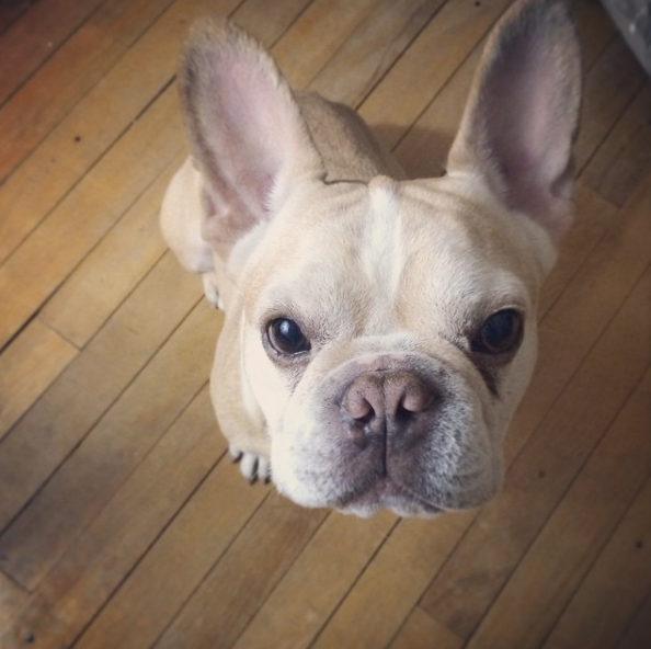 Adopting a Frenchie with Chicago French Bulldog Rescue