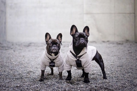 Sophie & Jax The Frenchies - Seattle Dog Life - Dog Stories Episode 2