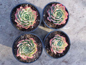 Echeveria Toffee Apple -120mm Pot