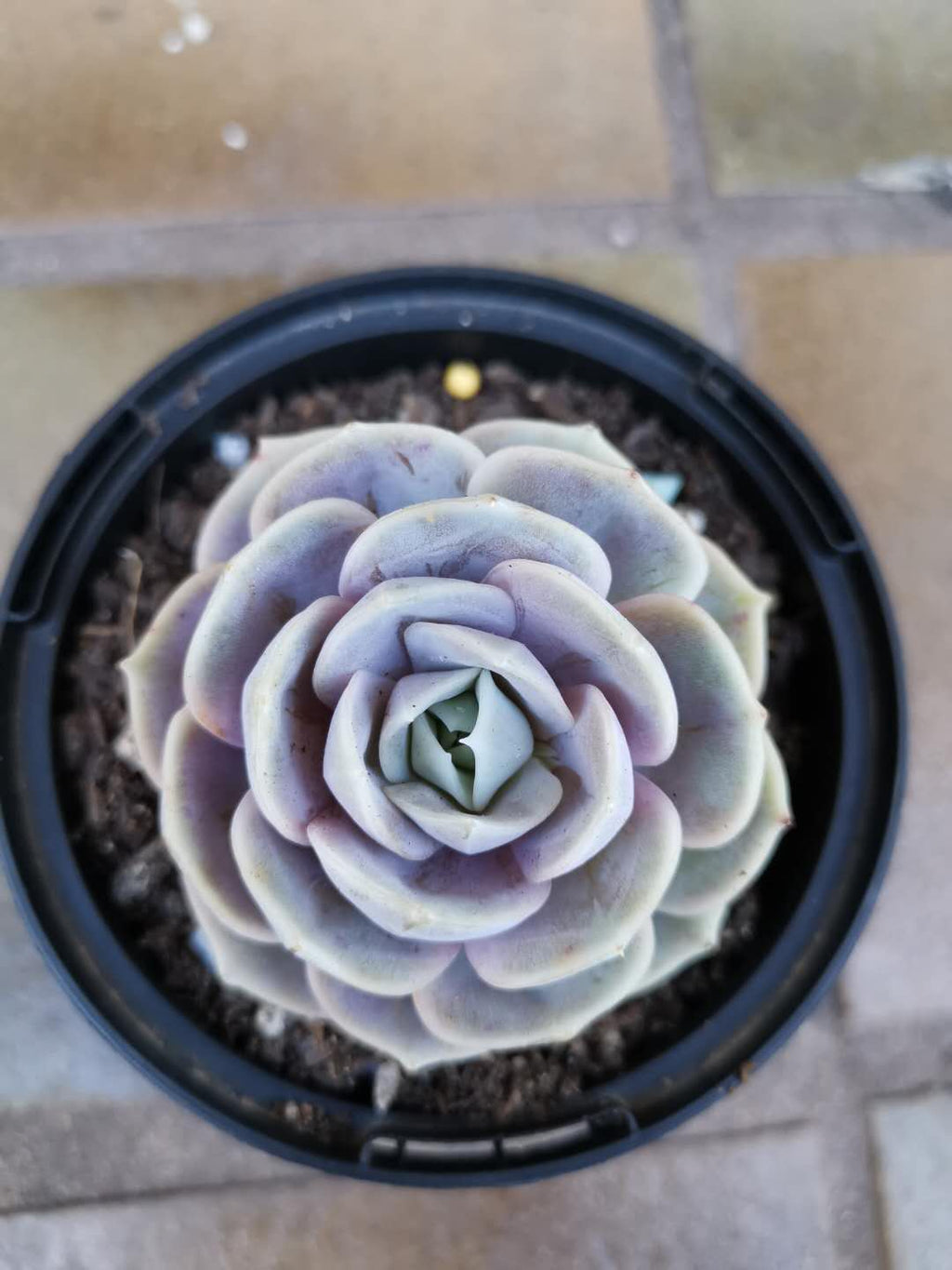 Echeveria Blue Surprise - in 100mm pot