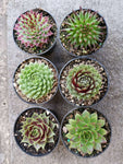 Sempervivum collection Set of 6