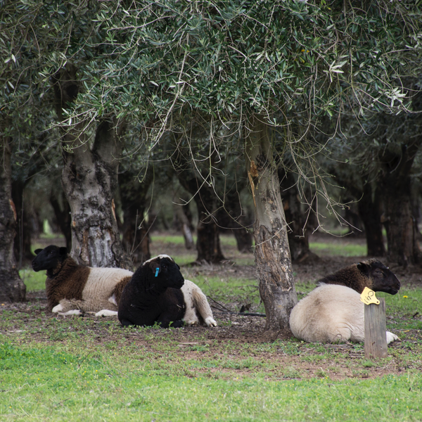 Pukara Estate Premium Lamb Pack