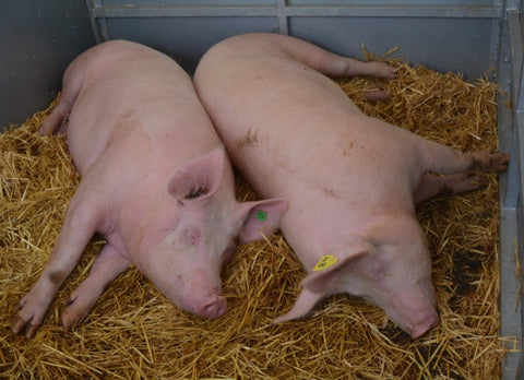 Pigs asleep in the straw at the Devon County Show