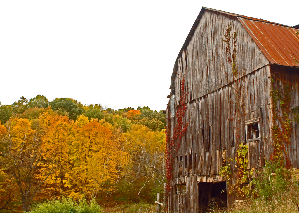 The front 3/4 angle of a dilapidated barn made of wood with a metal roof with fall colored trees in the background.