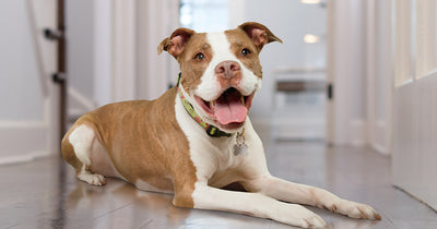 Ten Bajillion Reasons Why You Should Adopt a Pit Bull